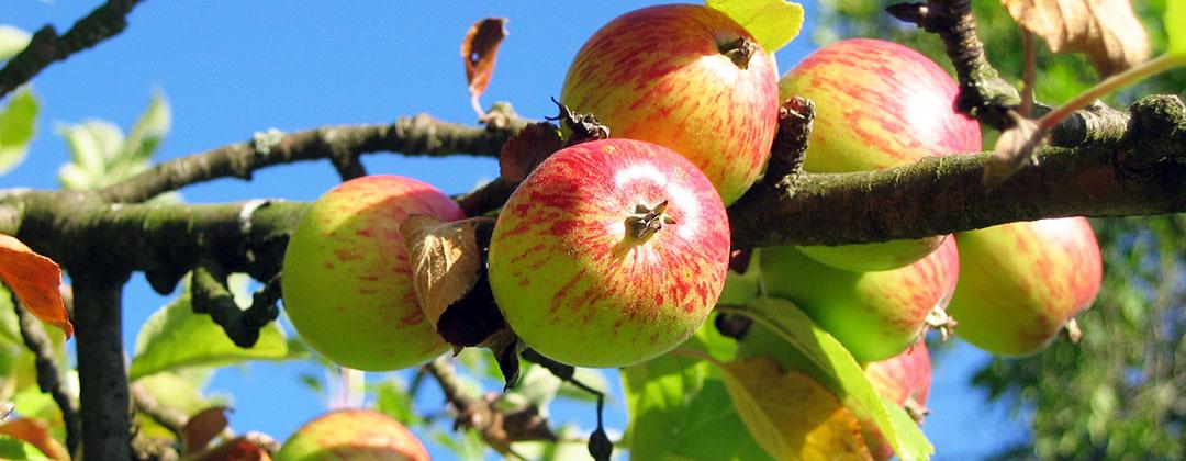 Apfelbaum Obstbau Felten