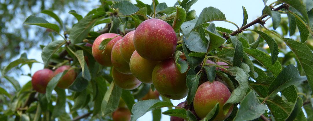 Apfelbaum von Obstbau Felten