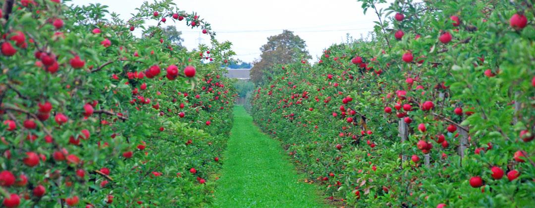 Apfelplantage von Obstbau Felten