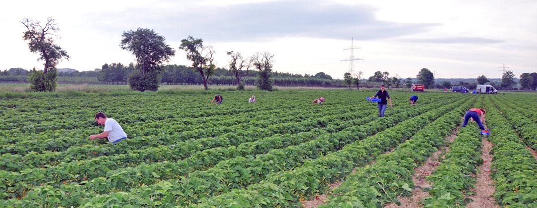 Erdbeerfeld von Obstbau Felten