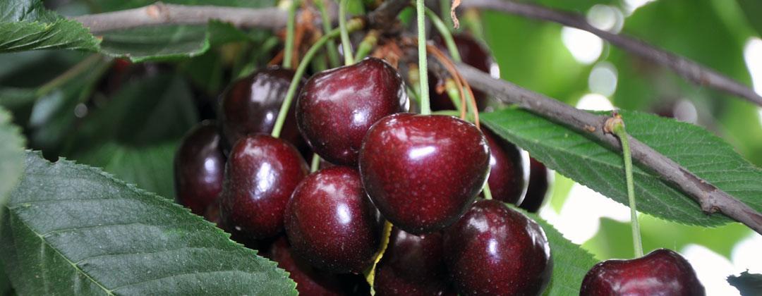 Süßkirschen von Obstbau Felten